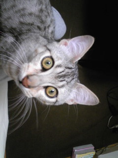 半大人猫(はん・おとにゃん)