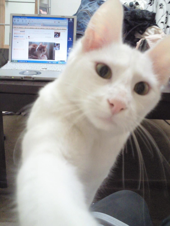 チビアンゴラの猫パンチ